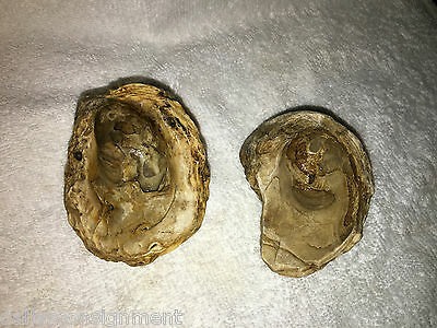 Clam Oyster Mussle Mollusc/mollusk Fossil From Limestone Bed In Tx