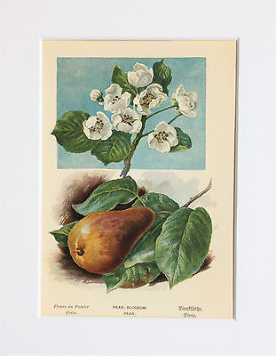 Pear Tree Fruit Flowers - Mounted Antique Botanical Print, Colour Lithograph