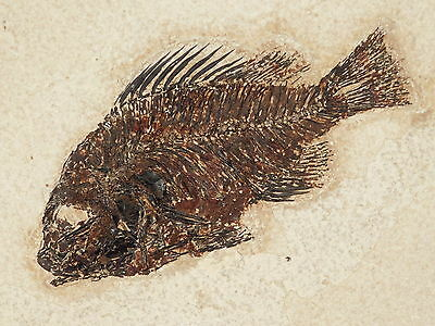 Super Erect FINS! A PERFECT Priscacara Serrata Fossil Fish! From Wyoming 677gr