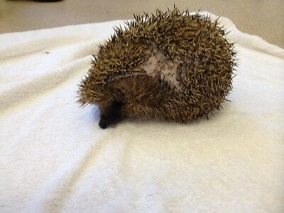 ***this Is Apple , The Friendly Hedgehog, ** Help Feed The Hedgehogs This Xmas**