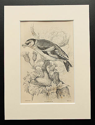 Goldfinch - Sepia Mounted Antique Bird Print 1880s Engraving by Lizars