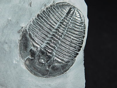 A Perfect Larger 500 Million Years Old Utah Elrathia TRILOBITE Fossil 243gr e