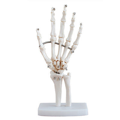 Professional Human Hand Joint Skeleton Model Medical Science Health Anatomy