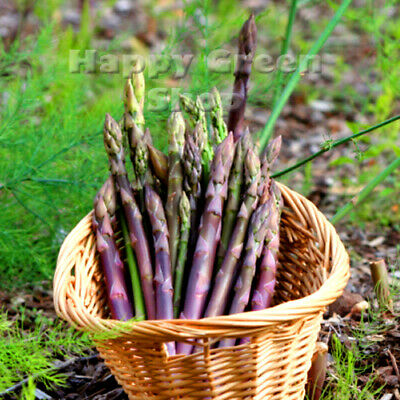 ASPARAGUS ARGENTEUIL - 110 seeds - vegetable seeds