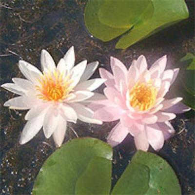 1 x Water Lily Nymphaea Rosennymphe Aquatic pond plant - bare rooted