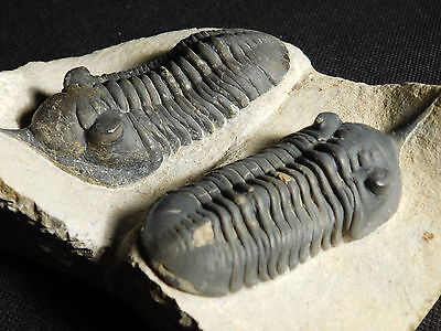 TWO Big! NICE and 100% NATURAL Morocconites Trilobite Fossil Morocco 396gr e
