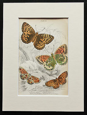 Fritillary Butterfly - Mounted Antique Insect Bug Print 1840s by Jardine