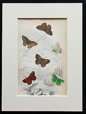 Hairstreak Butterfly - Mounted Antique Insect Print 1840s by Jardine