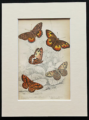 Graling & Wall Brown Butterfly - Mounted Antique Insect Print 1840s by Jardine