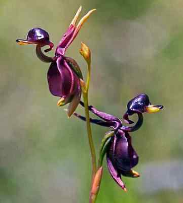 Flying Duck Orchid Flower Seeds China Rare Beautiful garden plant