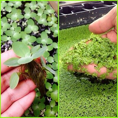 Combo Aquatic Plants! Live Dwarf Water Lettuce 5+ And Duckweed! 500+