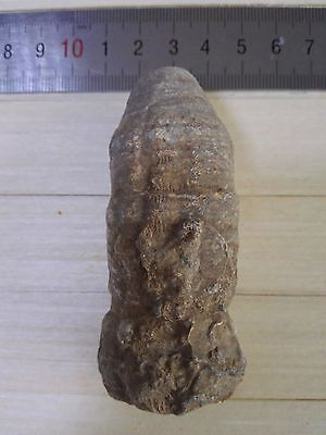 137G Natural Solitary Coral Fossil B56