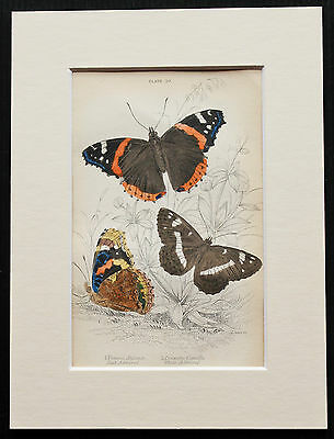 Red & White Admiral Butterfly - Mounted Antique Insect Print 1840s by Jardine