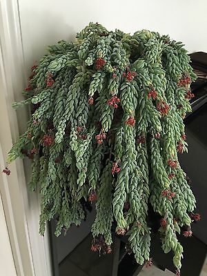 Donkey Tail Succulent Plant