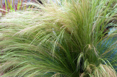 3 Stipa tenuissima plugs Pony tails Feather Grass