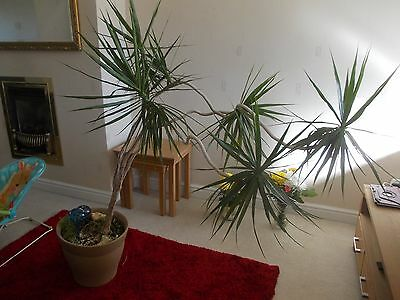 Large House  Plant  *  Collection Only Allesley  Coventry