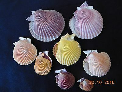 Seashell Collectable. A set of 8 Mimachlamys asperrimus Shells.