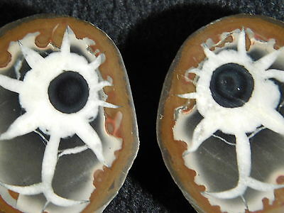 A Neat EYEBALL Like Pattern! on This Small Polished SEPTARIAN NODULE 14.4gr