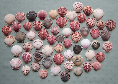 "Lot of 60 Beautiful Colorful Florida Scallop Shells  1-1/8"" to 1-1/2""   #2"
