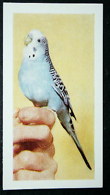 BUDGERIGAR    Vintage Colour Photo Card  VGC