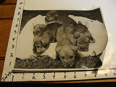 Vintage B & W dog photo: LITTER OF SOFT COATED WHEATEN TERRIER PUPPIES