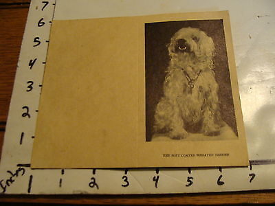 Vintage B & W card: THE SOFT COATED WHEATEN TERRIER info card, GRANTS HILL