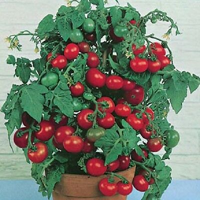 Tomato Tiny Tim EXTREMELY EARLY 25+ SEEDS Containers bright windowsills