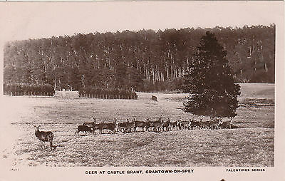 Deer At Castle Grant, GRANTOWN ON SPEY, Morayshire RP
