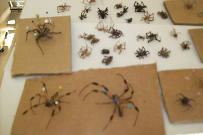 Lrg. Lot  of Wolf Spiders, Brown recluse, Black and Brown widow Dried Spiders