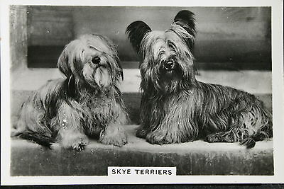 Skye Terrier  1930's Original Vintage Photo Card