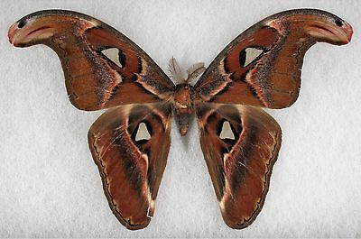 Insect/Moth/ Attacus erebus - Male 8 1/4""