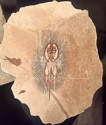 Lebanese Fish Fossil, Exceptionally Rare Cyclobatis, 100 Million Years Old!