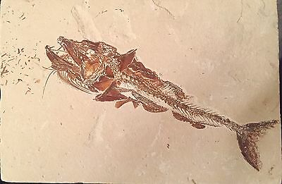 Perfectly Well Preserved Lebanese Fish Fossil, 100 Million Year Old eurypholis!