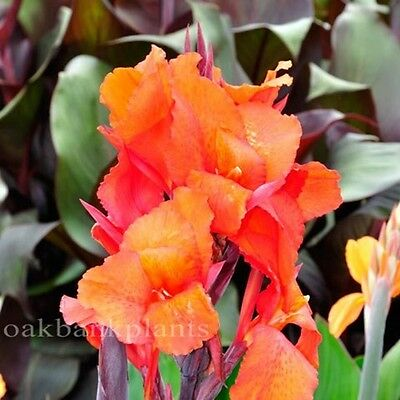 CANNA LILY PRINCE OF BURGUNDY deep burgundy foliage