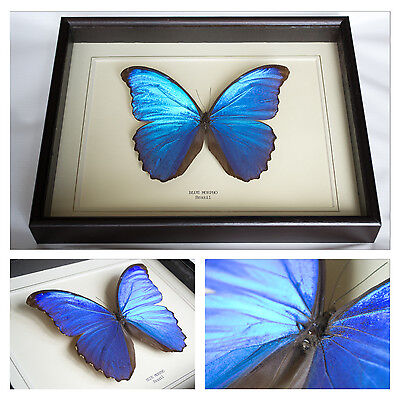Real Blue Morpho Butterfly Hand Set and Framed In UK Beautiful GIft -Taxidermy
