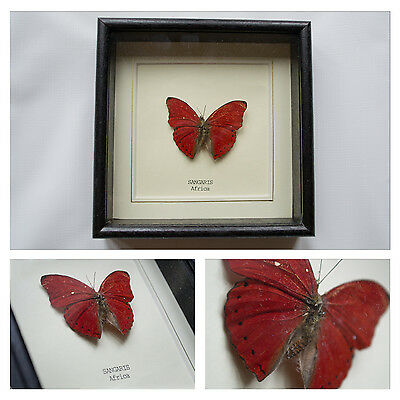 Real Sangaris Butterfly Hand Set and Framed in UK Beautiful Gift - Taxidermy