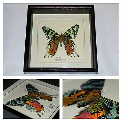 Real Ripheus Butterfly Hand Set and Framed In UK Beautiful Gift - taxidermy