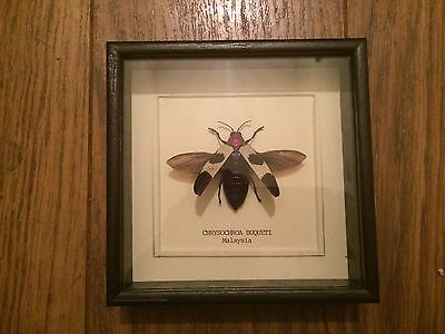 Real Chrysochroa Buqueti (Beetle Bug Insect)  Set & Framed In UK - taxidermy