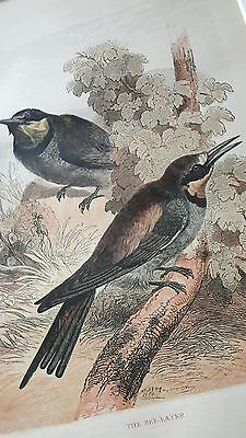 Antique natural history illustration/ornithological mounted print of bee-eaters