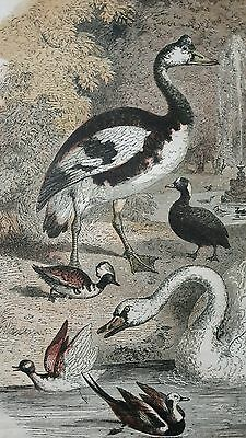 Antique natural history illustration/ornithological mounted print of water fowl