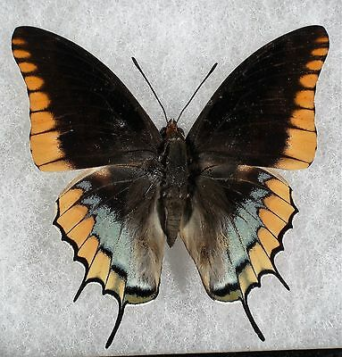 "Insect/Butterfly/ Charaxes ssp. - Male 3"" Type I"