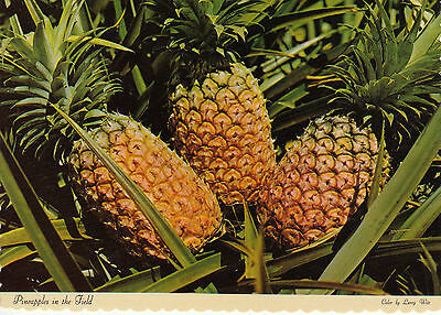 HAWAII - Pineapples in the Field