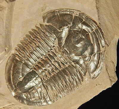 A BIG 500 Million Year Old! Utah Asaphiscus Trilobite Fossil in BIG Matrix *T