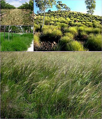 Wallaby Grass x2 plants
