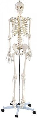 New Life Size Human Anatomical Anatomy Skeleton Medical Model + Stand