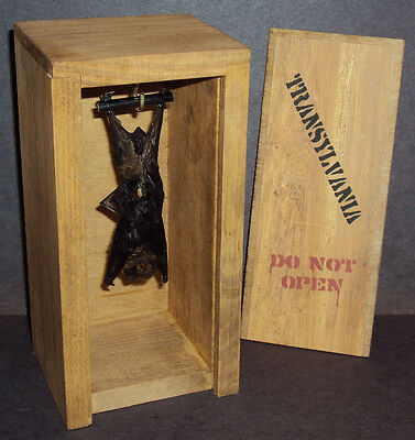 Real Hanging Bat in Transylvania Wood Crate! Gothic Halloween Taxidermy Pet