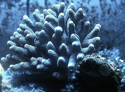 Turquoise/Green Stylophora, SPS coral, WYSIWYG  -  easy coral, frag.