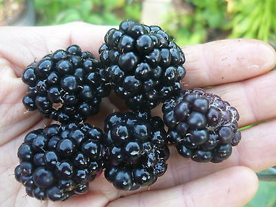 1 X Decent Blackberry THORNLESS Plant For $18