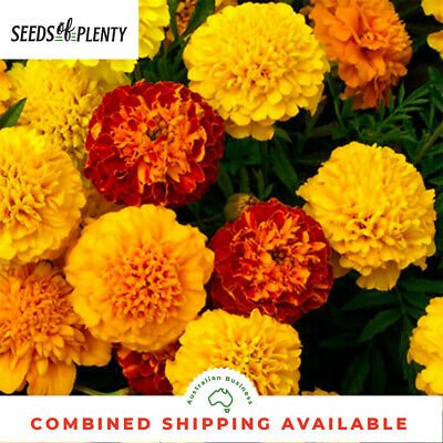 MARIGOLD  - Petite Mix (500 Seeds) BULK Heirloom CONTAINERS Beds & Borders