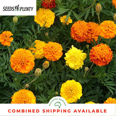 MARIGOLD   - Sparky Mix (500 Seeds) BULK Heirloom CONTAINERS Beds & Borders